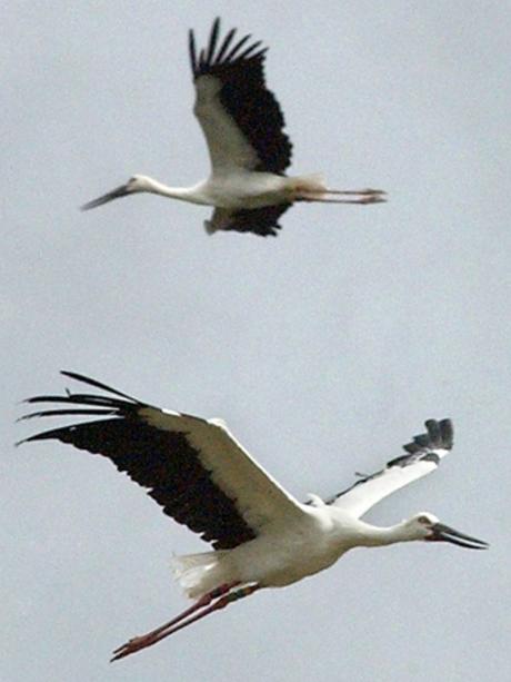 stork2 (Hyogo Park of the Oriental White Stork)