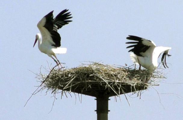 stork (Hyogo Park of the Oriental White Stork)