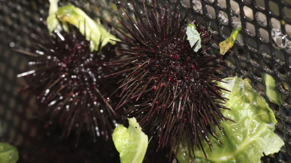 Japanese City Works On Farming Of Sea Urchins By Cabbage Waste