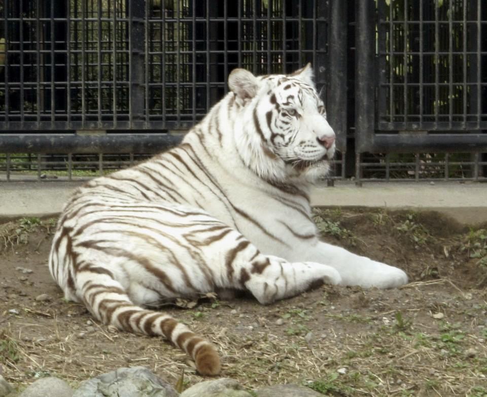 White tiger mauls zookeeper to death in Japan