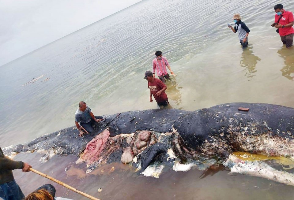 Dead whale in Indonesia had swallowed 1000 pieces of plastic
