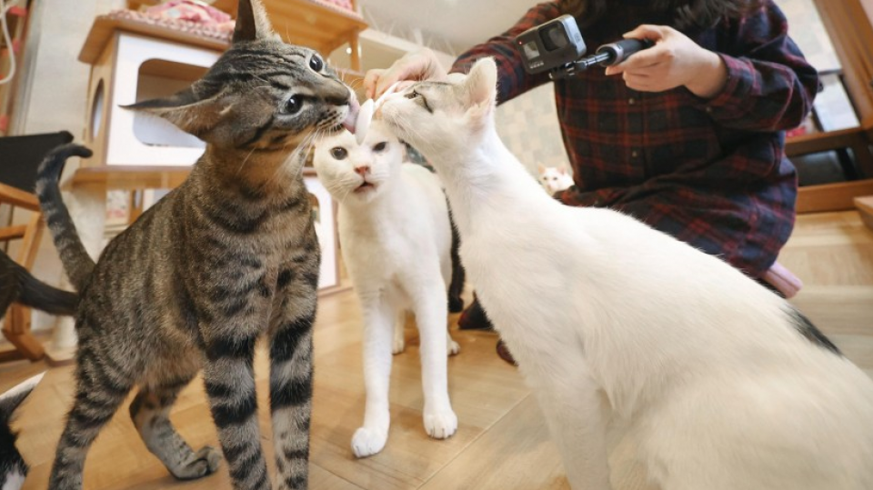 Human Coronavirus Transmissible Between Domestic Cats Study