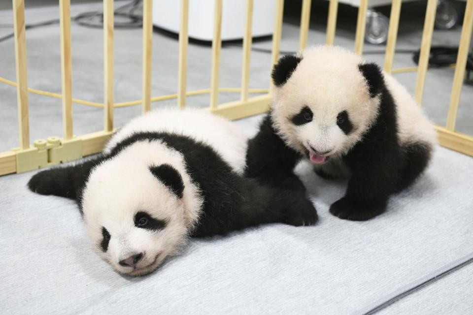 photo l - Xiao Xiao e Lei Lei foram os nomes dados aos pandas gêmeos gigantes nascidos no zoológico de Tóquio