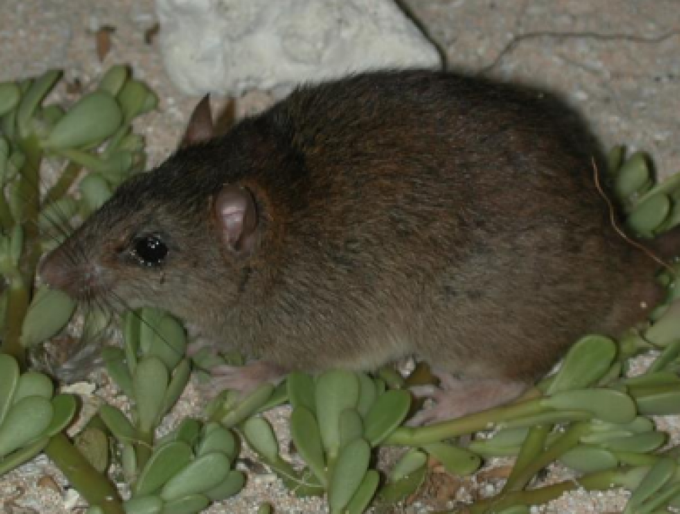 Australian rodent first climate-change extinction