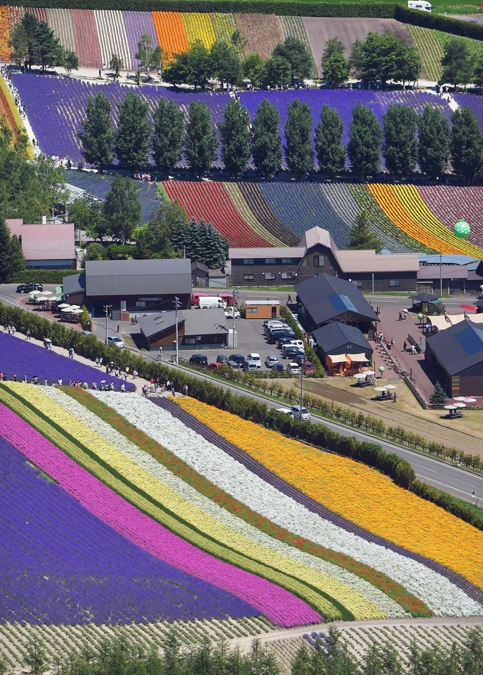 Lavender fields in Hokkaido's Furano in full bloom